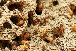 What Do Termite Eggs Look Like